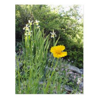 Marguerite jaune et iris blancs cartes postales