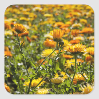 Marigold calendula flower field square sticker