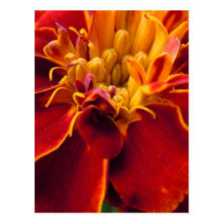 Marigold Up Close Postcard