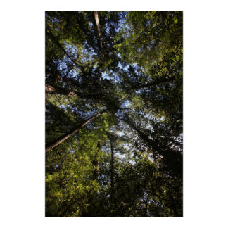 Marin County, California forest Poster