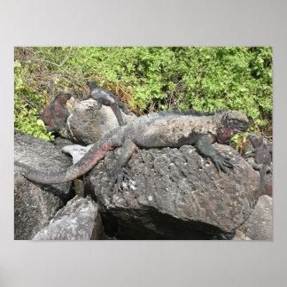 Marine Iguana Poster