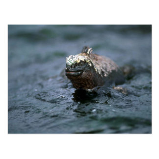 Marine Iguana Swimming Out To Feed Postcard