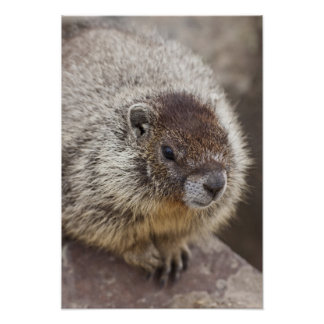 Marmot at Palouse Falls State Park Poster