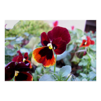 Maroon Orange And Yellow Pansy Poster