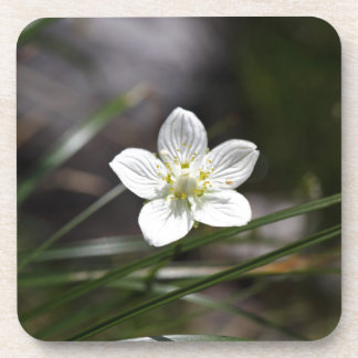 Marsh grass of Parnassus (Parnassia palustris) Drink Coaster