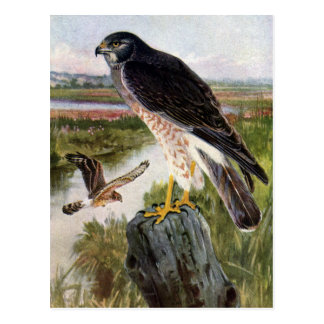 Marsh Hawk Postcard
