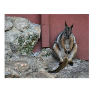 marsupial sitting against wall by rock postcard