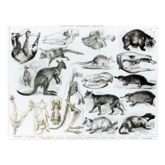Marsupialia, Monetremata, Edentata Postcard