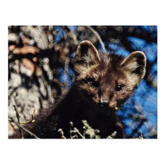 Marten in Spruce Tree Postcard