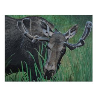 Marysville Moose Postcard