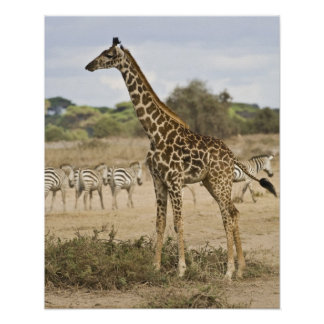 Masai Giraffe and Common Zebra at Amboseli NP, Poster