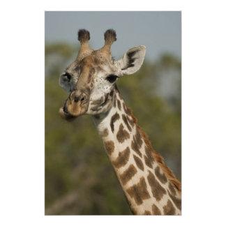 Masai Giraffe, Giraffa camelopardalis Photographic Print