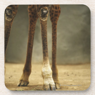 Masai giraffe, low angle view of legs, Giraffa Coasters