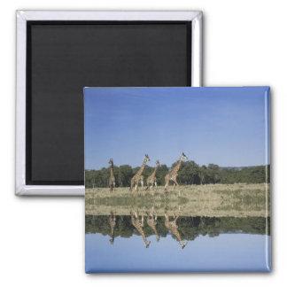 Masai Giraffes, Giraffa camelopardalis, Masai Square Magnet