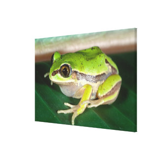 Masked Treefrog, Smilisca baudini , Native to Canvas Print