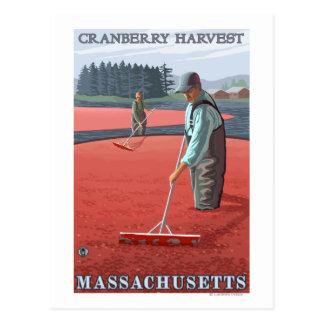 MassachusettsCranberry Bog Harvest Postcard