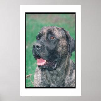 Mastiff Brindle Poster
