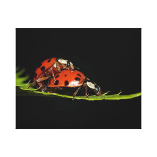 Mating ladybird beetles canvas print