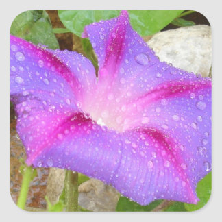 Mauve and Magenta Morning Glory with Water Drops Square Sticker