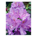 Mauve Rhododendron Postcard