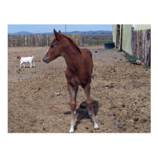 May 2008 Foal Postcard