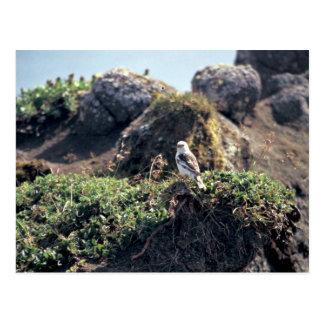 McKay's Bunting on Hall Island Postcard