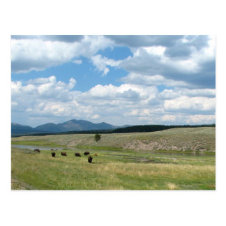 Meadow of Bison Postcard
