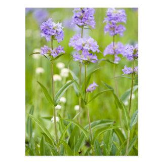 Meadow of penstemon wildflowers in the postcard