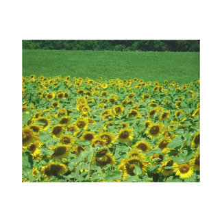 Meadow of Sunflowers photo by Lorette Starr Wrappe Canvas Print