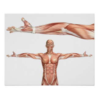 medical figure showing elbow supination poster