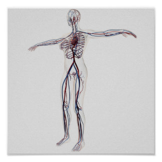 Medical Illustration: Female Circulatory System 2 Poster