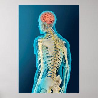 Medical Illustration Of Human Brain & Brain Stem Poster