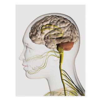 Medical Illustration Of Human Nervous System 1 Postcard