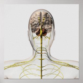 Medical Illustration Of Human Nervous System 2 Poster
