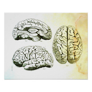Medical Illustration of the Human Brain Poster