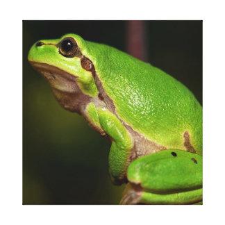 Mediterranean tree frog canvas print