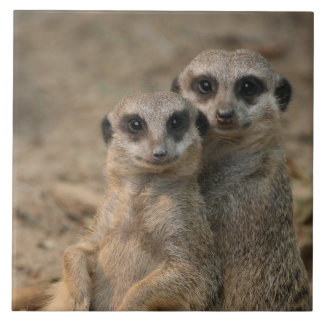Meerkat_20170901_by_JAMFoto Tile