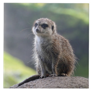 Meerkat_20171101_by_JAMFoto Tile