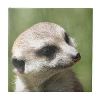 Meerkat_20171201_by_JAMFoto Tile