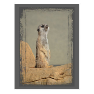 Meerkat Collection Postcard
