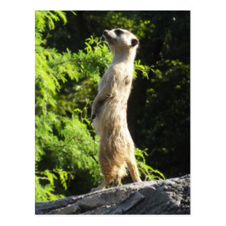 Meerkat- On The Watch Postcard