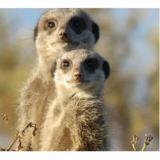 Meerkat Photo Cutout