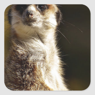 Meerkat Square Sticker