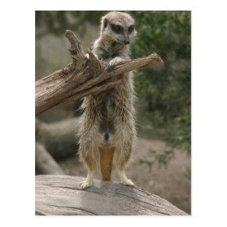 Meerkat Standing Postcard