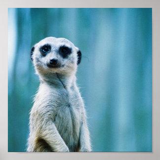 Meerkat Staredown - Poster
