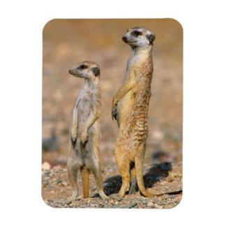 Meerkat (Suricata Suricatta) Sentinels, Karas Magnet