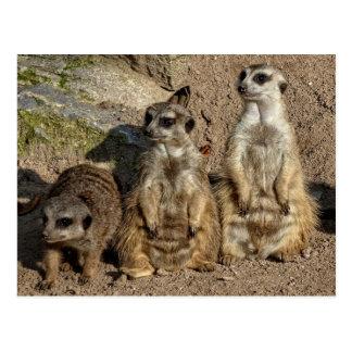 Meerkats Postcard