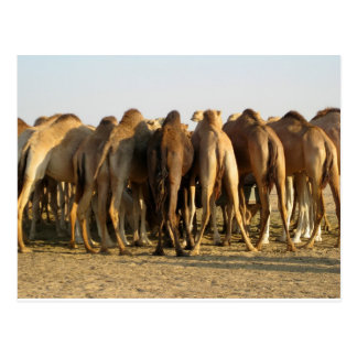 Meeting of the Camels Postcard
