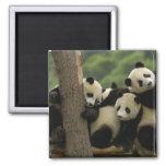 Melanoleuca d'Ailuropoda de bébés de panda géant)  Magnets Pour Réfrigérateur