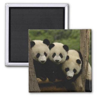 Melanoleuca d'Ailuropoda de bébés de panda géant)  Magnet Carré